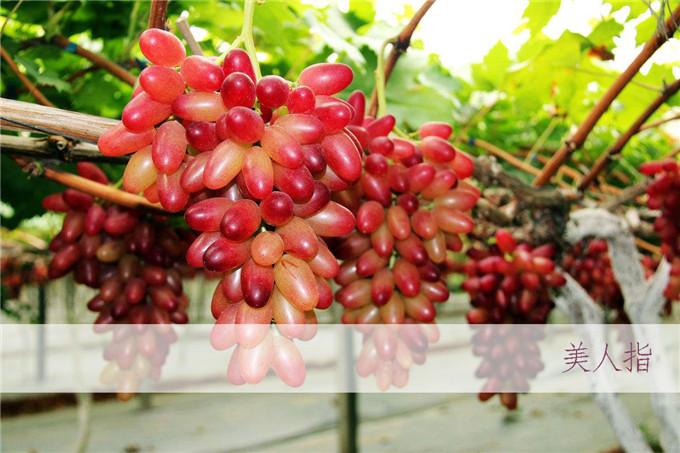 葡萄苗怎么种植方法 启发葡萄苗 葡萄苗