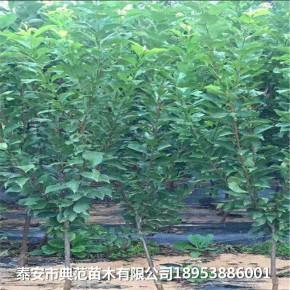 2公分蓝蜜李子树苗多少钱 蓝蜜李子树苗价格