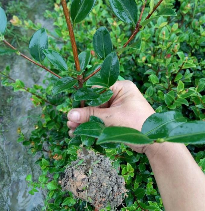 白土鎮高產油茶苗圃  高產油茶苗種植 吉安油茶苗