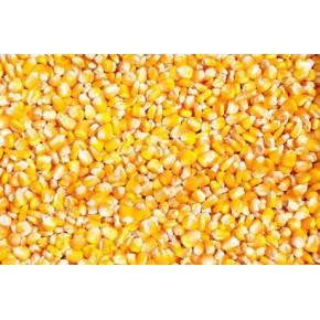 饲料厂大批量采购玉米