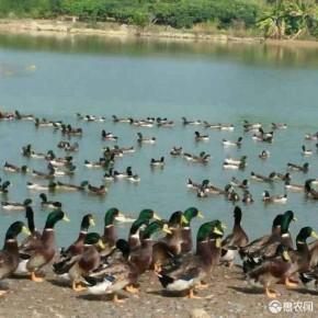吉安县双江绿头野鸭