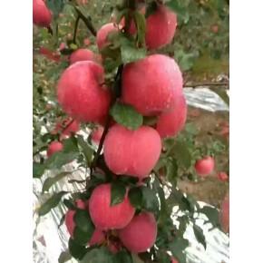 浆水苹果,红富士苹果,批发零售,产地直销,支持全国物流配送,欢迎采摘