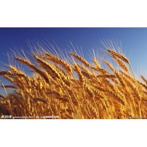 采购大量优质玉米、小麦、高粱、大豆