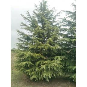 6米7米雪松价格,雪松树形决定报价区间差