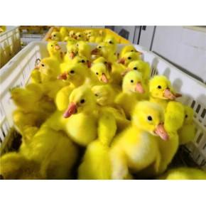 鵝苗孵化 春发畜禽养殖 南阳鵝苗孵化