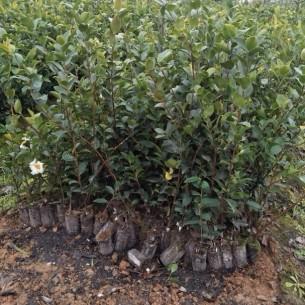 長林4號、40號、53號品種【嫁接油茶樹苗】大果紅花油茶苗,一年生油茶苗