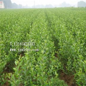 櫻桃苗批发 美早 黑珍珠栽植及批发价格
