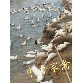2020年重庆忠县大型孵化场花边鴨苗批发价格