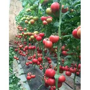 哪里有西红柿批发基地 潜江西红柿批发 联富果蔬种植基地