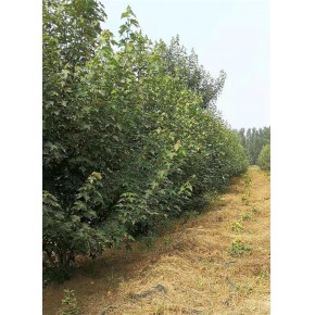 丛生美国红枫种植基地 丛生美国红枫 泰安韵可园林