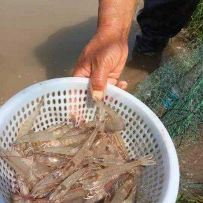 温室大棚养殖南美对虾亩效益 甲旺农业 安徽对虾