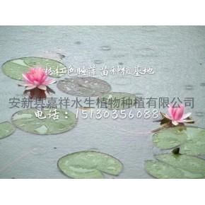 睡莲种苗怎样种植 睡莲种苗在东北能生长开花吗