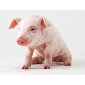 河北畜牧猪采食量下降的常见原因及防治