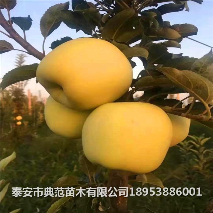 維納斯黃金蘋果樹苗品種介紹 維納斯黃金蘋果樹苗價格