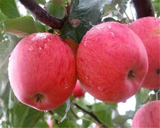 河南煙富8號蘋果樹苗,河南煙富8號蘋果樹苗價格