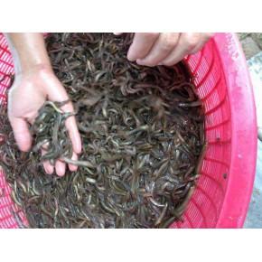 咸阳市合作养泥鳅养殖不愁销当地扶持项目