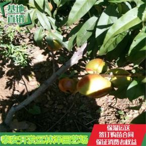 桃树苗买苗价格、新川中岛桃树苗种植管理