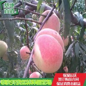 1公分春雪桃树苗基地【产地直销】