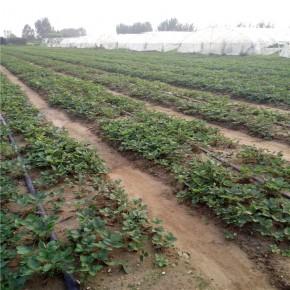 草莓苗种植方法 盆栽