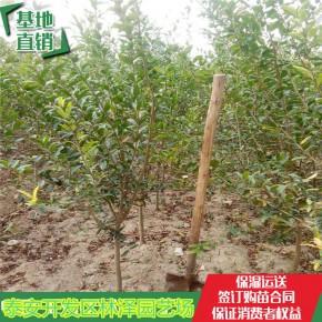 软籽石榴苗根系发达、软籽石榴树苗基地供应
