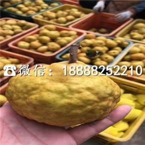 梨树苗、三公分黄金梨苗