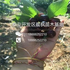 出售矮化蜜浓樱桃苗