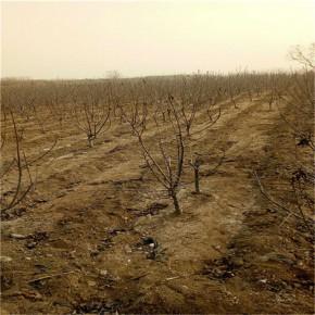 【矮化5公分樱桃树】红灯樱桃苗农户价格