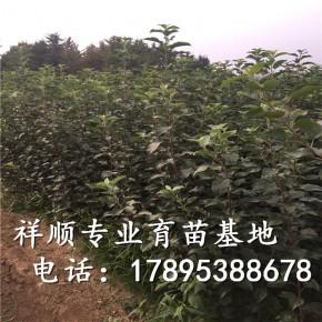 烟富10号苹果苗价格、烟富10号苹果苗多少钱一棵