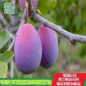 泰安蜂糖李子苗1公分2公分批发 保证品种
