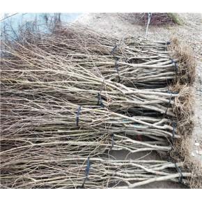 泰山红石榴树苗批发价格、泰山红石榴树苗创业新项目