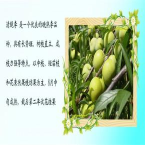 蜂糖李子苗施肥时间【多年种植经验】