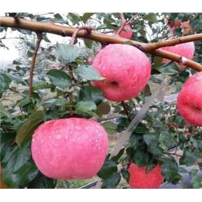 黑钻苹果苗价格、黑钻苹果苗出售价格