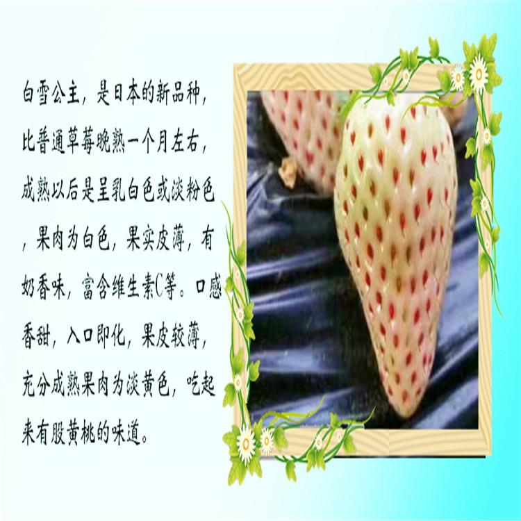 广东省珠海市章姬草莓苗便宜价格