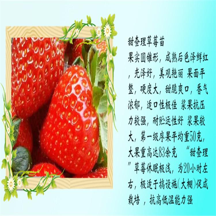 广东省珠海市法兰地草莓苗便宜价格