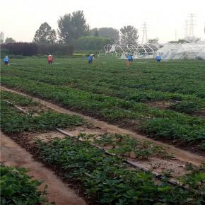 广东省河源市甜查理草莓苗这里便宜