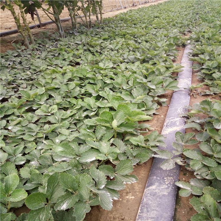 广东省珠海市法兰地草莓苗报价图表