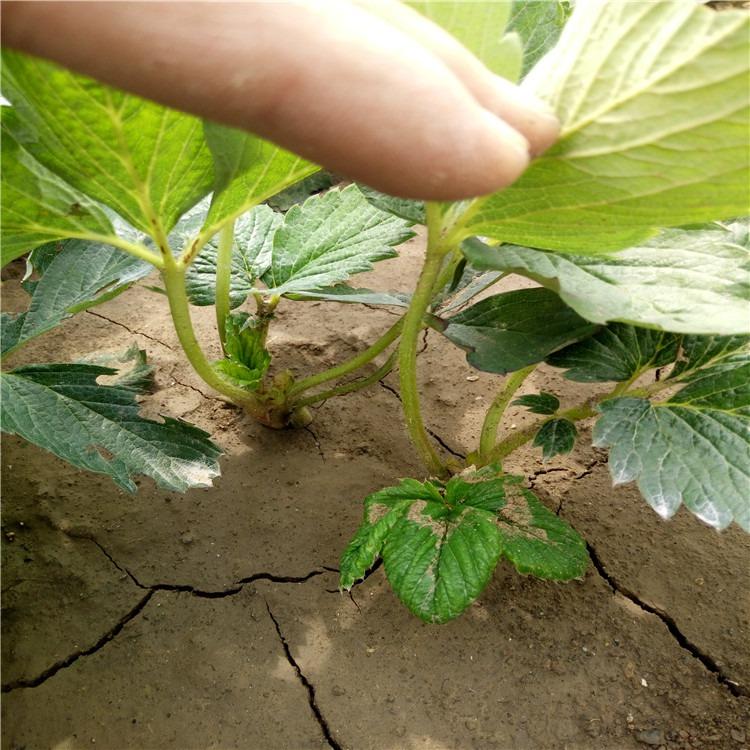 广东省河源市章姬草莓苗便宜价格