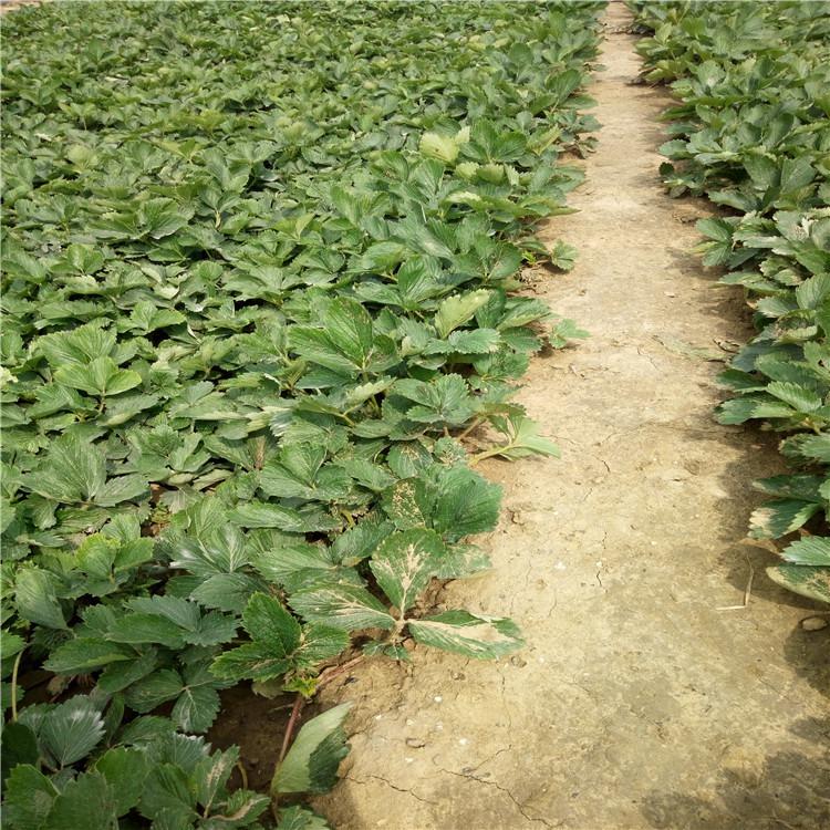 广东省珠海市甜查理草莓苗便宜价格