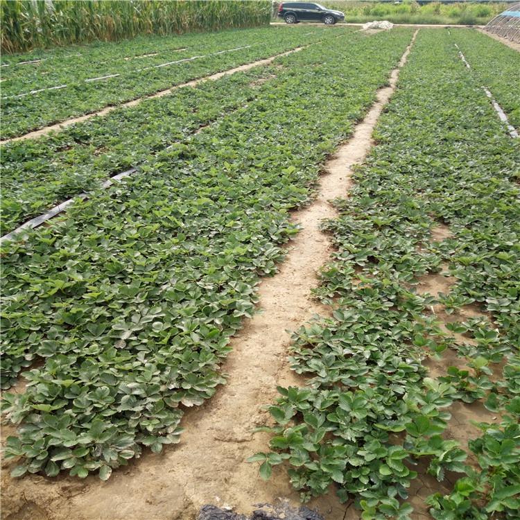 广东省珠海市章姬草莓苗价格走势