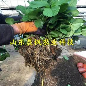 达赛莱克特草莓苗新优品种
