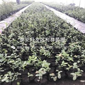 芬蒂蓝莓苗、芬蒂蓝莓苗价格、芬蒂蓝莓苗基地