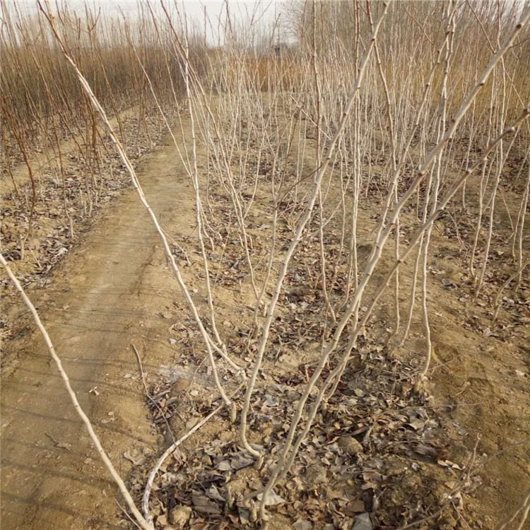 大五棱山楂苗供应【多年种植经验】