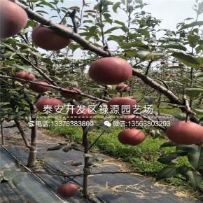奥红一号梨树苗哪里有、奥红一号梨树苗价格及报价