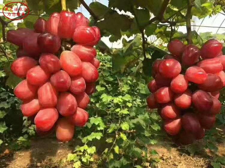 葡萄苗品种批发、葡萄苗品种品种有多少价格