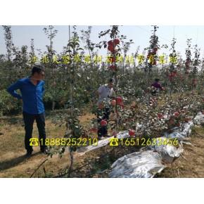 新2001苹果树苗、泰安新2001苹果树苗、新2001苹果树苗