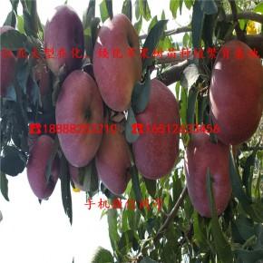 黑千寿苹果苗、二年黑千寿苹果苗、黑千寿苹果苗价格