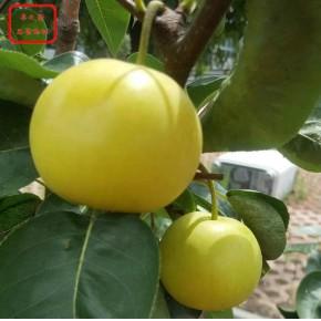 南果梨树苗图片
