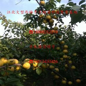 【蜂糖李子苗】蜂糖李子苗:批发基地