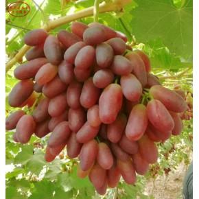 蜜汁葡萄苗价格、蜜汁葡萄苗新品种
