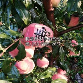 巨紅蜜桃樹苗價格多少錢
